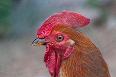 Head of rooster Stock Photos