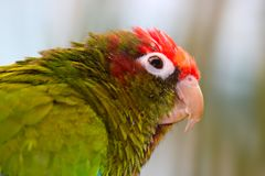 Head of a rose-headed or rose-crowned parakeet parrot pyrrhura rhodocephala in portrait view. Head of a rose-headed or rose-crowned parakeet parrot in portrait Royalty Free Stock Image
