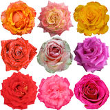 Heads of roses over white background Royalty Free Stock Photos