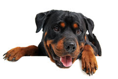Head of rottweiler Stock Photos