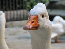 The head of the Royal goose is closed up. Spain stock images