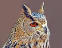 Head of royal owl with orange eye. Spain Stock Photography