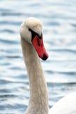 head s-swan fotografering för bildbyråer