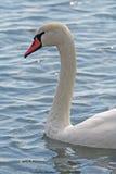 head s-swan royaltyfri foto
