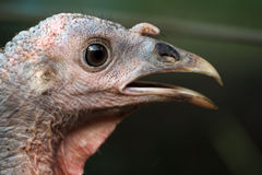 Head`s turkey close up Royalty Free Stock Photography
