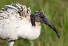 Head of sacred Ibis Stock Images
