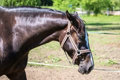 The head of sad brown Hanoverian horse in the bridle or snaffle with the green background of trees an grass in the sunny summer da. The head of sad brown royalty free stock image