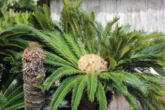 Head of a Saga Palm Tree stock photography