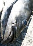 Head of Salmon Royalty Free Stock Photo