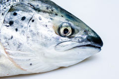 Head of salmon. On plain background Stock Images