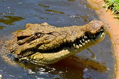 Head of saltwater crocodile Crocodylus porosus. Out of water Stock Photo
