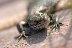 Head of a sand lizard Royalty Free Stock Images