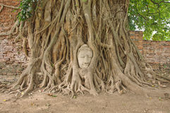 Head of sandstone buddha in the bodhi tree roots Stock Image
