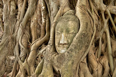 Head of Sandstone Buddha in roots of Banyan tree Stock Photo