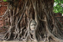 Head of sandstone Buddha in roots of Bodhi tree Stock Photo