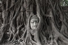 Head of sandstone Buddha in roots of Bodhi tree Stock Image