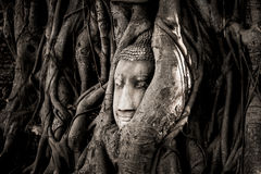 The head of a sandstone Buddha statue nestled in the tree roots beside the minor chapels of Wat Maha That, Phra Nakhon Si Ayutthay. A Province, Thailand Royalty Free Stock Photo