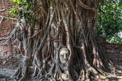 Head of sandstone buddha statue in tree roots Stock Photos