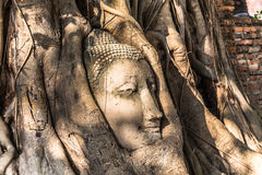 Head of sandstone buddha statue in tree roots Stock Image