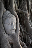 Head of Sandstone Buddha in The Tree Roots Stock Images