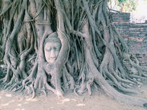 Head of Sandstone Buddha in The Tree Roots at Wat Mahathat, Ayut Royalty Free Stock Images