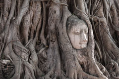 Head of Sandstone Buddha in The Tree Roots at Wat Mahathat, Ayut Royalty Free Stock Photos