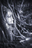 Head of Sandstone Buddha in The Tree Roots at Wat Mahathat, Ayut Stock Photography