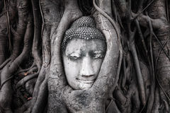 Head of Sandstone Buddha in The Tree Roots from Wat Mahathat, Ayutthaya Royalty Free Stock Photos