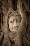 Head of Sandstone Buddha in The Tree Stock Images
