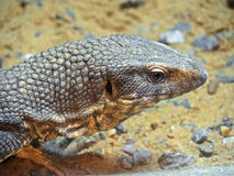Head of Savannah Monitor on Stone with Sand Background Royalty Free Stock Photography