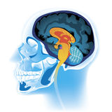 Head scan. Vector illustration of human head scan Royalty Free Stock Image