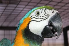 Head of scarlet macaw Stock Photography