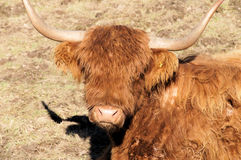 Head of a Scottish Highland Royalty Free Stock Photos