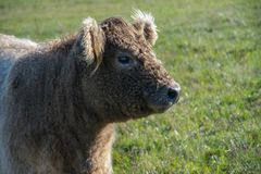 Head of the Scottish highland bull in profile stock photography