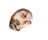 Head scottish kitten in paper side torn hole. isolated on white Royalty Free Stock Photography