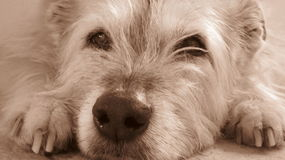 Head of a scruffy dog lying down in sepia Royalty Free Stock Photos