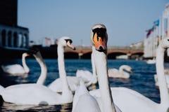 Head se för vit svan in i kamera på den Alster flodkanalen nära stadshus i Hamburg arkivfoton