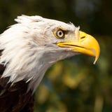 Head of a Sea Eagle. Closeup of the head of a Sea Eagle Royalty Free Stock Photo