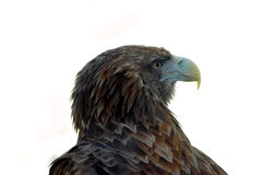 Head of a sea eagle on a white background Stock Photography