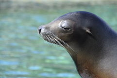 Head of Sea lion enjoying sun Stock Image