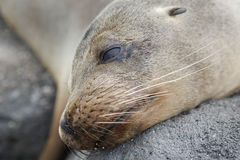 Head sea lion, Galapagos Royalty Free Stock Photography