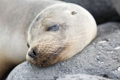 Head sea lion, Galapagos stock images