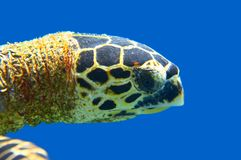 Head of sea turtle Royalty Free Stock Image