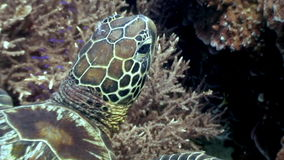 Head sea turtle on background of coral underwater in ocean of Philippines. stock footage