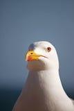 head seagull Arkivfoto