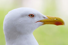 Head of seagull Royalty Free Stock Image