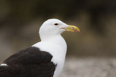 The head of seagull Royalty Free Stock Photos