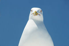 Head of a seagull. Stock Photos