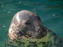 Head of seal with closed eye stock image