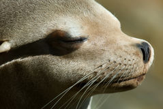 Head of a sealinon. Detail portait of a sealion Royalty Free Stock Photography